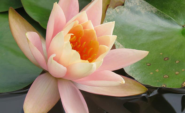 lotus_787x480